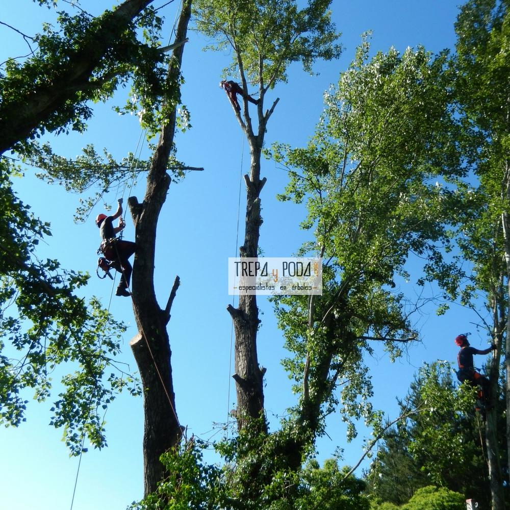 poda en altura cortar chopo ponferrada arboricultura